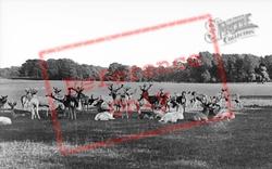 Deer In The Park c.1950, Woburn Abbey