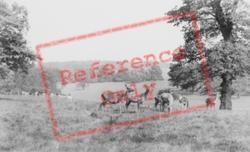 Deer In The Park c.1960, Woburn Abbey