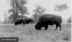 The Bison c.1960, Woburn Abbey