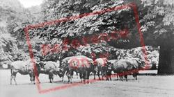 European Bison In Woburn Park c.1970, Woburn Sands
