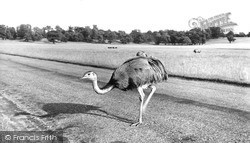 Woburn Sands, Rheas In Woburn Park c.1970