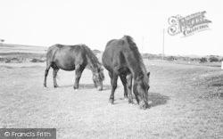 Yelverton, Dartmoor Ponies c.1955