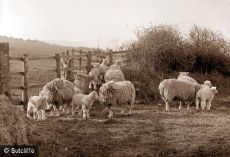 Whitby, Sheep c1880